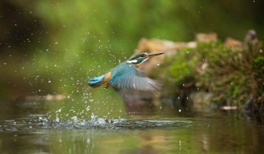 Blue and Orange Bird Flying Above Water